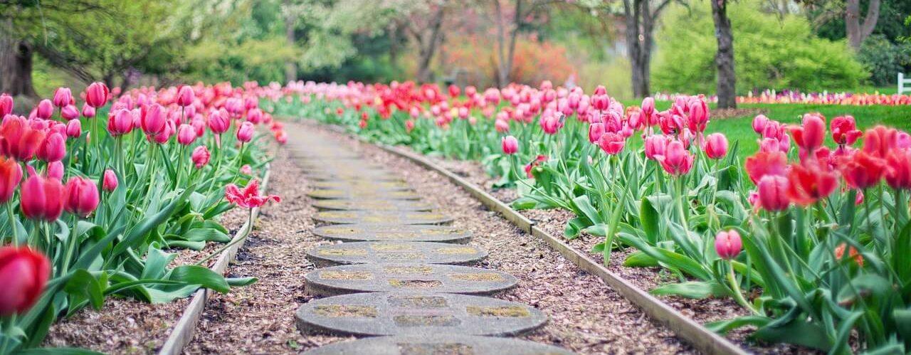 Ścieżka z czerwonych tulipanów