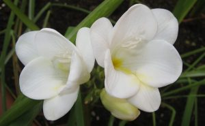 Biała frezja