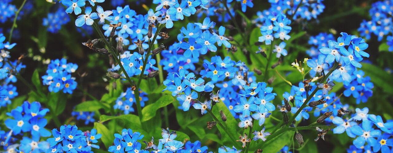 Niebieskie kwiaty niezapominajki
