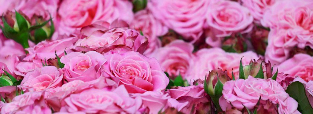 Róże rosnące na łące