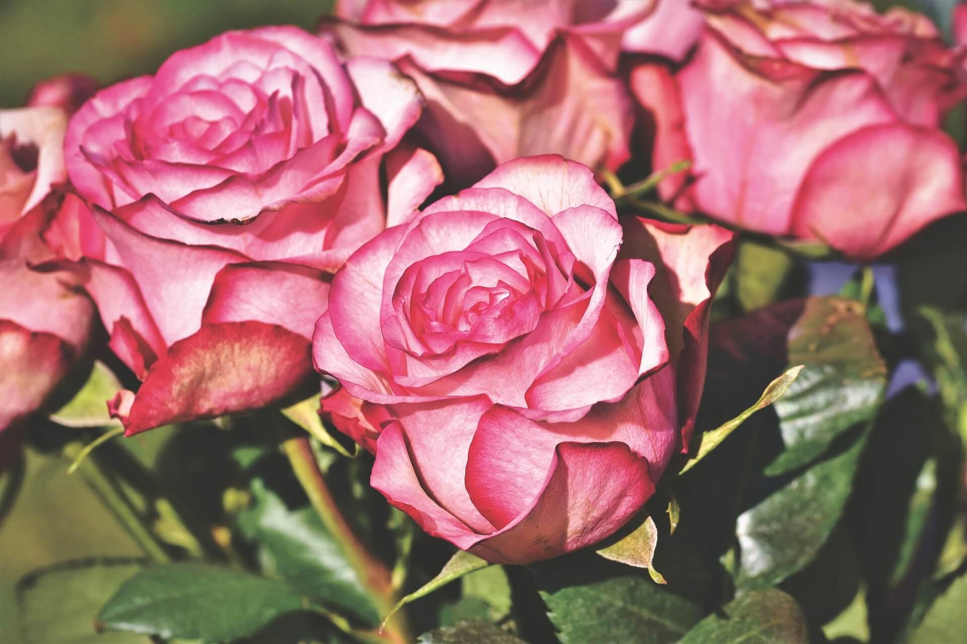 Róża Wszystkie Symbole Baza Znaków I Ich Znaczeń