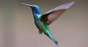Koliber w locie
